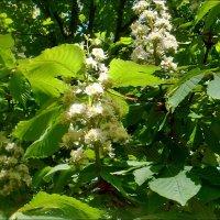 Снова цветут  каштаны... :: Нина Корешкова