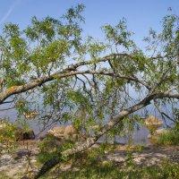 Склонились ивы над озером :: lady v.ekaterina