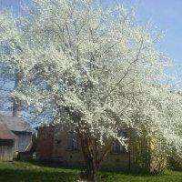 Kaukazo slyva Karsakiškyje / Caucasus plum (Karsakiškis, Lithuania) :: silvestras gaiziunas gaiziunas