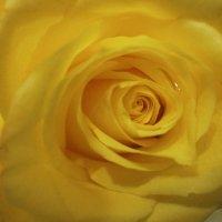 Внутри розы ... :: Алёна Савина