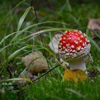 Мухоморчик в лесных травах :: Алексей (GraAl)