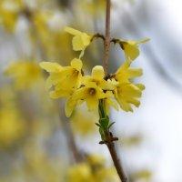 Форзиция цветет :: Olcen Len