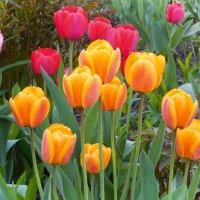 цветы весны :: Александр Борисович