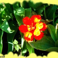Аленький цветочек :: Нина Бутко