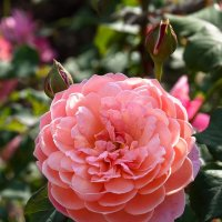 Нежный бутон розы :: GALINA