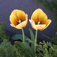 Тюльпаны :: Дубовцев Евгений