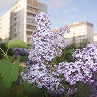 Сирень цветет. :: Татьяна Гусева