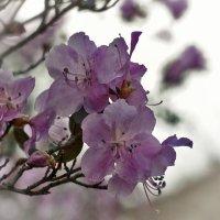 Маральник цветет :: Елена Баландина