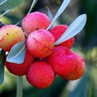 Вкусняшка. Китайская земляничка, горный персик... :: Dmitry Saltykov
