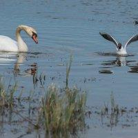 Лебедь и чайка. :: Виктор Евстратов