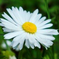 Ромашка,ромашка,цветок полевой .... :: Татьяна #****#
