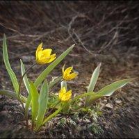 Желтые тюльпаны :: Василиса Никитина