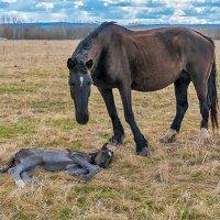 У спящего жеребёнка :: Любовь Потеряхина