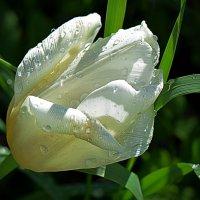 Последний тюльпан на даче после дождя :: Асылбек Айманов