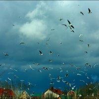 Гнездование чаек :: Александр Алексеенко