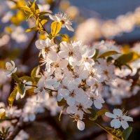 вишня цветет :: Ольга (Кошкотень) Медведева