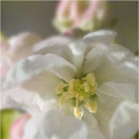 Цветок яблони :: Анастасия сосновская
