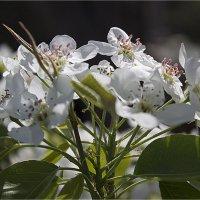 Цветы яблони :: Анастасия сосновская