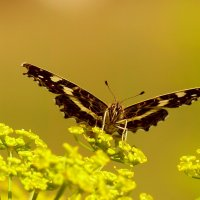 раскрыв крылья...пестрокрылка изменчивая :: Александр Прокудин