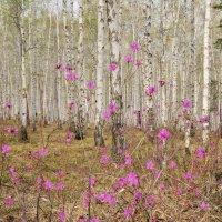 В весеннем лесу. :: Татьяна Алферова