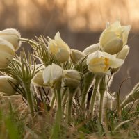 Весеннее цветение... :: Сергей Герасимов