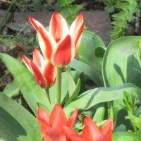 Стрельчатые тюльпаны :: Дмитрий Никитин