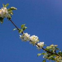 весенние цветы IMG_5152 :: Олег Петрушин