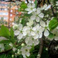Вишня цветет в моем городе :: Елена Семигина