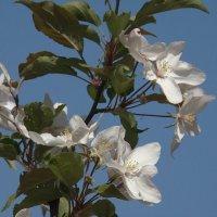 """""""Лучше нету того цвету, когда яблоня цветёт."""" :: Syntaxist (Светлана)"""