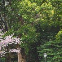 Дождь из сакуры :: Александр Колесников