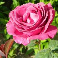 Крымская роза :: Алла Захарова