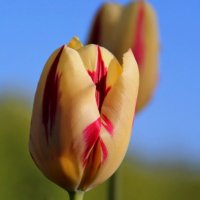 Прекрасны разноцветные тюльпаны... :: Татьянка ***