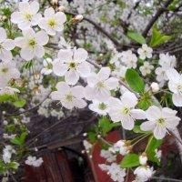 доверчивость весеннего цветения... :: Галина Филоросс