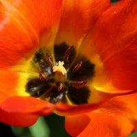Сердце тюльпана :: Татьянка *