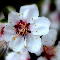 Расцвели весной садочки... :: Nikolay Monahov