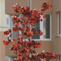 Сияние красного клёна :: Syntaxist (Светлана)