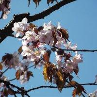 Сакура цветёт! :: Вероника