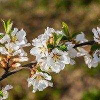 Цветение войлочной вишни :: Александр Синдерёв