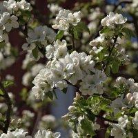 Майское цветение :: Фиклеев Александр
