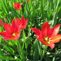 Лилиецветные тюльпаны :: sm-lydmila