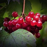 Красных ягод бусинки :: Валентина *