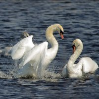 Брачные игры лебедей :: Светлана Медведева