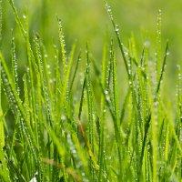 Макро травы в каплях воды :: Александр Синдерёв