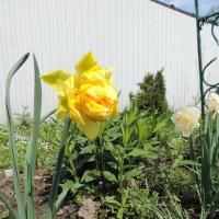 Нарцисс махровый желтый :: alexeevairina .