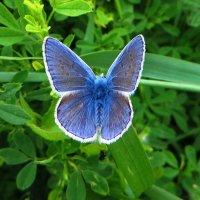 *Голубянка икар :: vodonos241