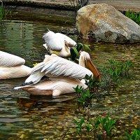 пеликаны :: Александр Корчемный