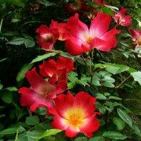 Майские розы :: Vanda Kremer