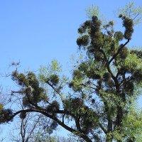 Распускаются деревья, набирает силу и омела (растение - паразит) :: Маргарита Батырева