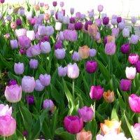 Тюльпановое разноцветие :: Татьяна Лобанова