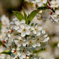 И вишни белой аромат :: Светлана Григорьева